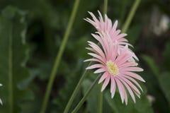 美丽花桃红色庭院的瓣 库存图片