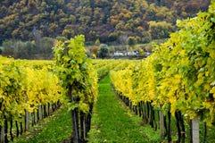 美丽葡萄酒增长在多瑙河银行在秋天在Durnstein镇,奥地利附近 图库摄影