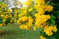 美丽许多黄色tecoma stans花背景 免版税库存图片