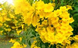 美丽许多黄色tecoma stans花背景 免版税图库摄影