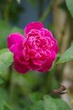 美丽选拔玫瑰色 免版税库存图片