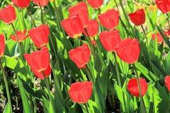 美丽透明在透明草背景的春天太阳郁金香的  免版税库存图片