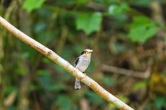 美丽银breasted Broadbill鸟(Serilophus lunatus) 免版税库存照片