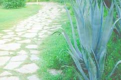 美丽青绿色龙舌兰仙人掌 图库摄影