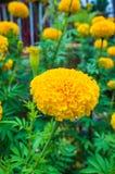 美丽黄色万寿菊花卉生长在庭院里 库存图片