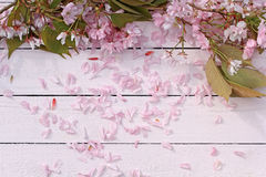 美丽,与日本樱桃开花的花的春天花卉背景 库存图片