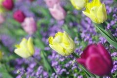 美丽,五颜六色的郁金香在庭院的春天 免版税图库摄影