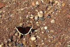 美丽,明亮的蝴蝶坐在草中的地面,沙子和小卵石 图库摄影