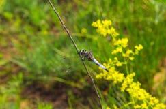 美丽,蓝色,大单独蜻蜓坐一根枝杈本质上 免版税图库摄影