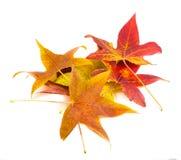 美丽,软,五颜六色和新鲜的秋天槭树在w离开 图库摄影