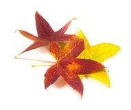 美丽,软,五颜六色和新鲜的秋天槭树在w离开 库存图片