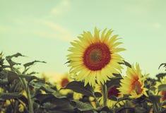 美丽,黄色和开花的向日葵的领域在一个明亮的夏日 库存图片