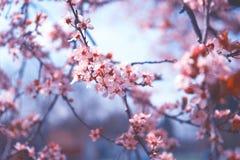 美丽结束桃红色樱花,佐仓 免版税库存照片