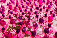 紫红色的花 免版税库存图片