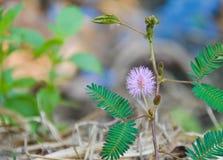 美丽紫罗兰色/紫色在早晨薄雾困植物或害羞的植物中开花含羞草pudica含羞草,接触我没有植物 Macr 免版税库存照片