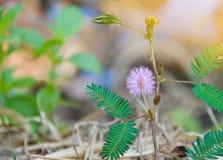 美丽紫罗兰色/紫色在早晨薄雾困植物或害羞的植物中开花含羞草pudica含羞草,接触我没有植物 Macr 库存图片
