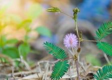 美丽紫罗兰色/紫色在早晨薄雾困植物或害羞的植物中开花含羞草pudica含羞草,接触我没有植物 Macr 免版税库存图片