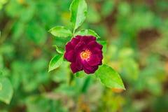 美丽紫色的玫瑰和芬芳花 库存照片