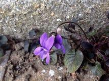 美丽紫色花卉生长在混凝土 免版税库存照片