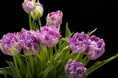 美丽紫色郁金香 库存图片