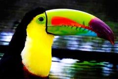 美丽toucan 免版税图库摄影
