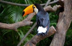 美丽toucan 免版税库存图片