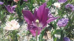 美丽tulipan 库存图片