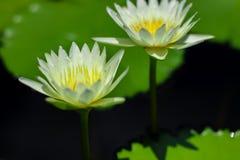 美丽waterlily或莲花在池塘 库存照片