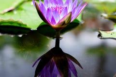 美丽waterlily或莲花在池塘 图库摄影