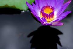 美丽waterlily或莲花在池塘 免版税库存图片