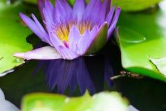 美丽waterlily或莲花在池塘 库存图片