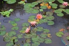 美丽waterlily或莲花被恭维 库存照片
