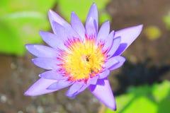 美丽waterlily或莲花 免版税库存图片