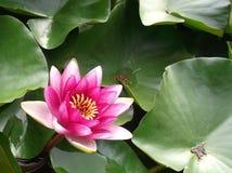 美丽waterlily 库存图片