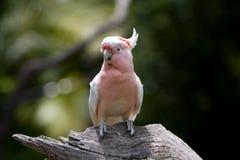 美冠鹦鹉主要mitchells 库存图片