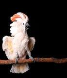 美冠鹦鹉他的摩罗加群岛 免版税库存图片