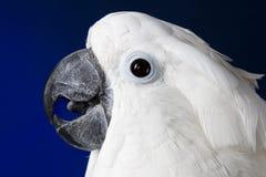 美冠鹦鹉伞白色 库存图片