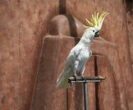美冠鹦鹉伞 库存图片