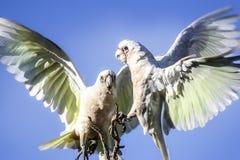 美冠鹦鹉在澳大利亚 免版税库存图片