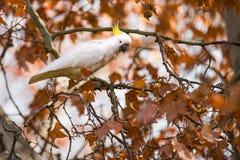 美冠鹦鹉在秋天 图库摄影