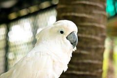 美冠鹦鹉是逗人喜爱的宠物 库存图片