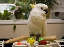 美冠鹦鹉有顶饰硫磺 图库摄影