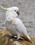 美冠鹦鹉有顶饰硫磺 免版税图库摄影