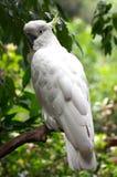 美冠鹦鹉有顶饰硫磺 免版税库存照片