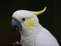 美冠鹦鹉有顶饰黄色 免版税库存照片
