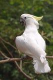 美冠鹦鹉有顶饰黄色 库存图片