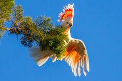 美冠鹦鹉桃红色和白色 免版税图库摄影