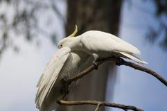 美冠鹦鹉爱 免版税库存图片