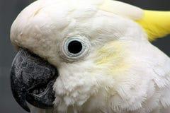 美冠鹦鹉特写镜头 免版税库存图片