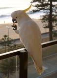 美冠鹦鹉留给男子气概 库存照片